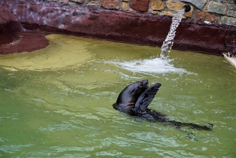 Södra - amerikansk simning för pälsskyddsremsa i pölen arkivbild