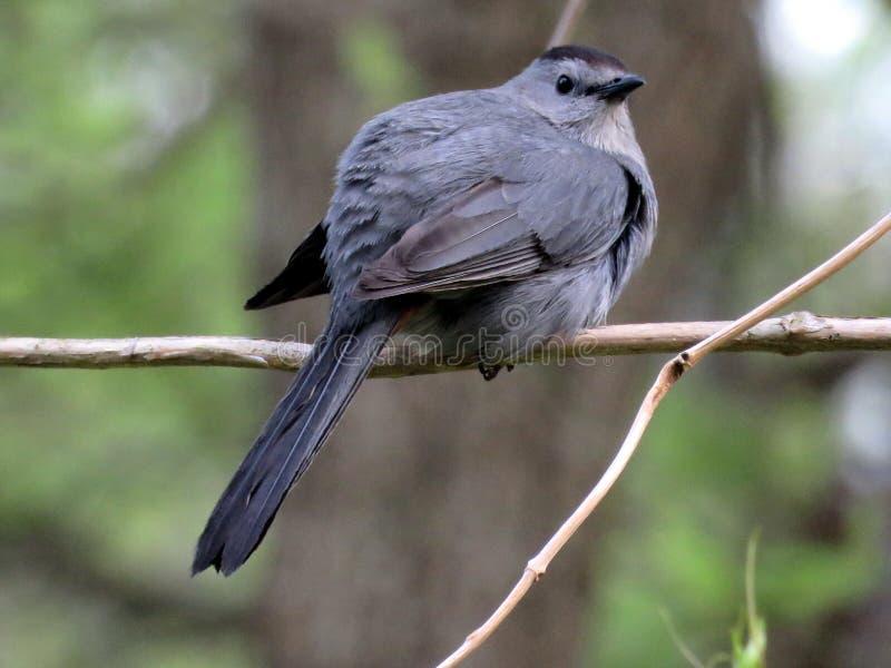 Södra Bethany Gray Catbird på en filial 2016 arkivbild
