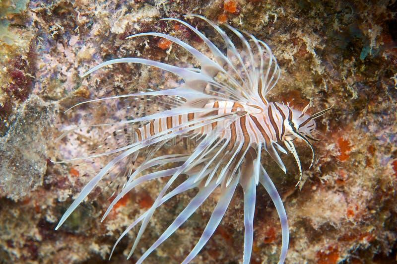 södra florida lionfish royaltyfri bild