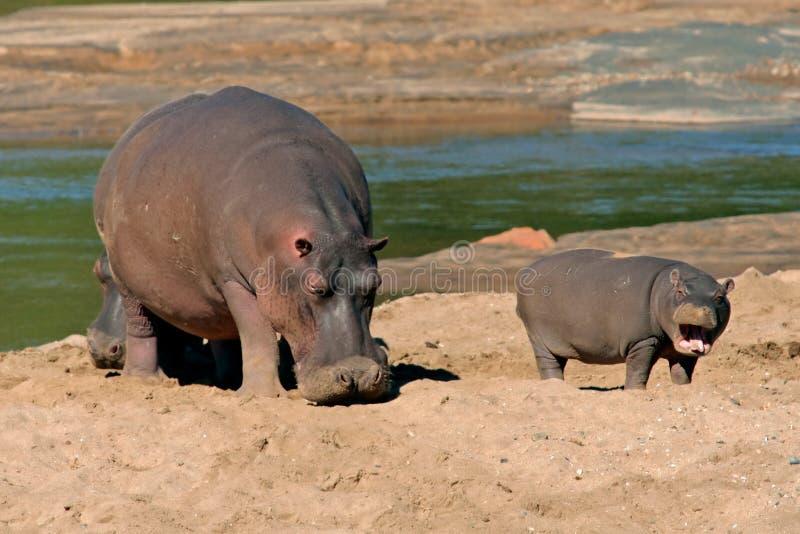 södra nationalpark för africa flodhästkruger royaltyfria foton