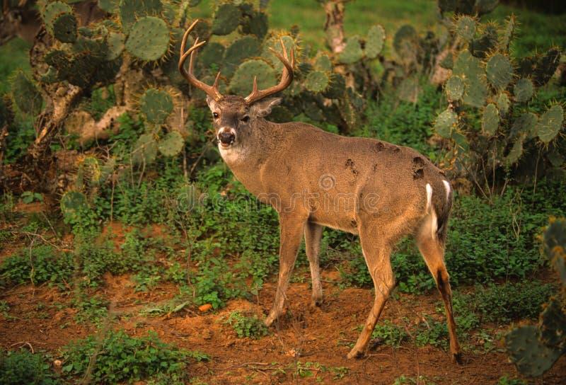 södra texas whitetail royaltyfri foto