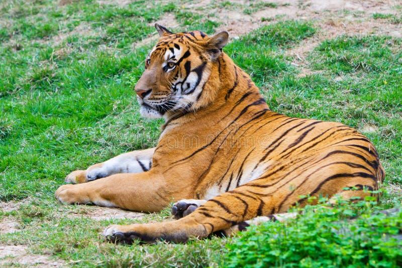 södra tiger för porslin royaltyfri fotografi