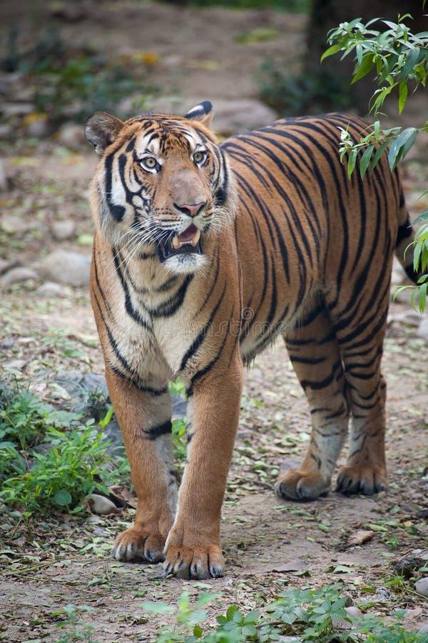 södra tiger för porslin royaltyfria bilder