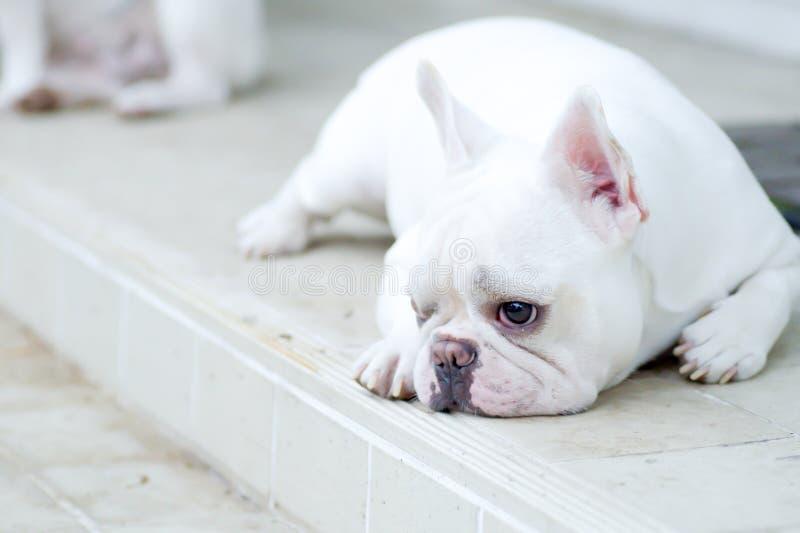 sömnig bulldoggfransman arkivbild