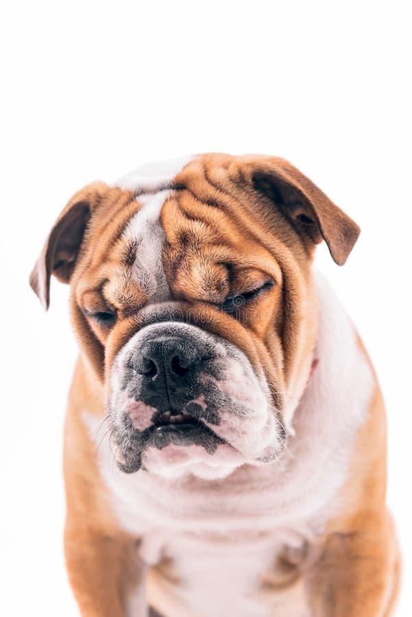 Download Sömnig engelsk bulldogg fotografering för bildbyråer. Bild av angus - 78727123