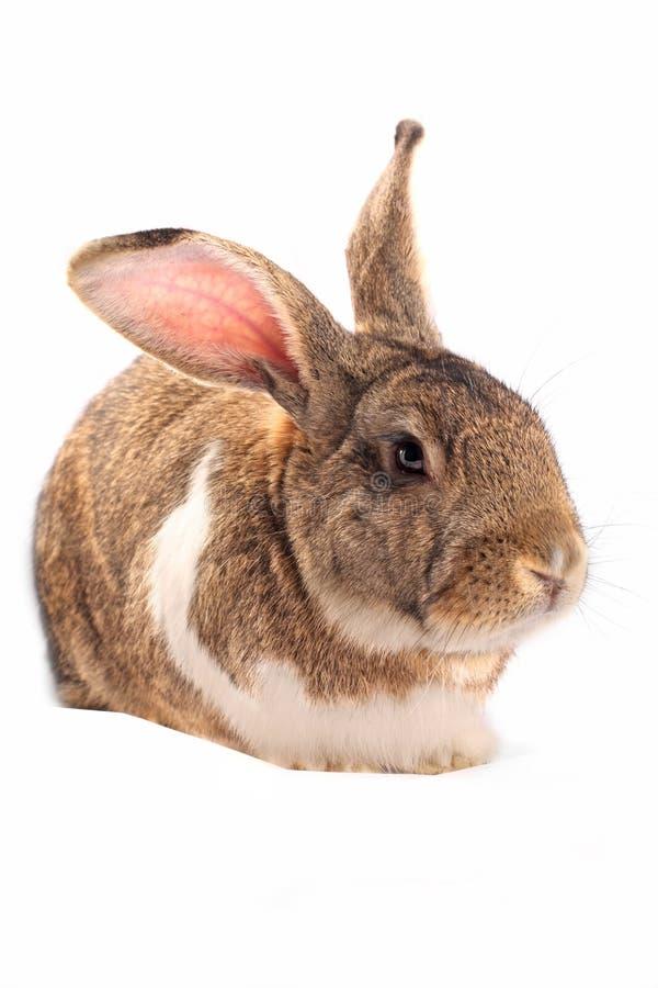 sömnig isolerad kanin royaltyfri fotografi