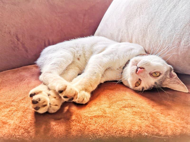 Sömnig katt, gullig katt, catvän, catsom sover soffan för ‹för on†arkivbild
