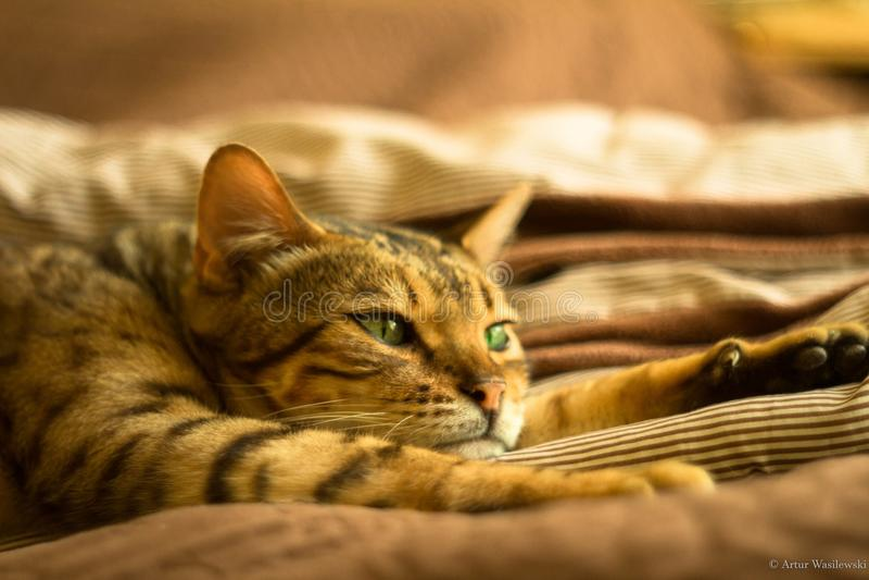 Sömnig katt - sömniga ögon fotografering för bildbyråer