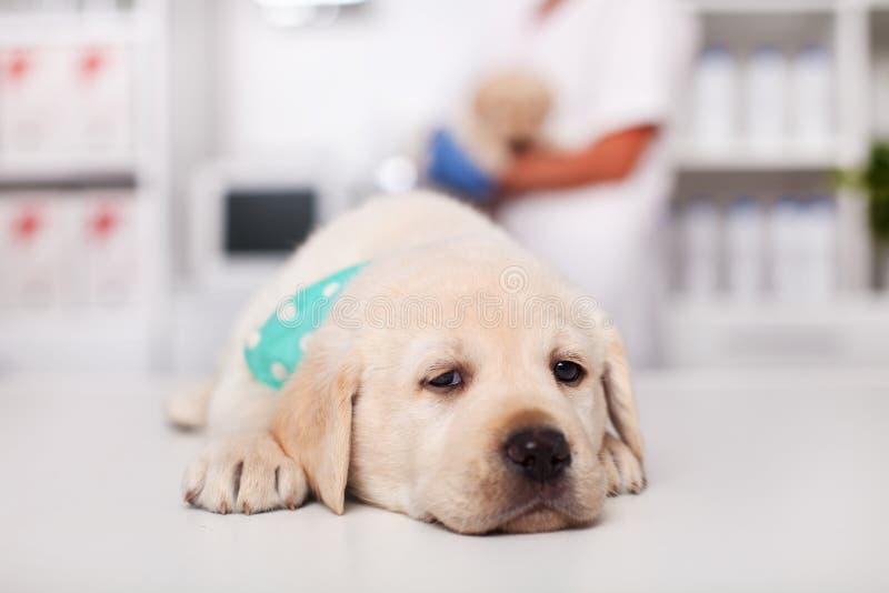 Sömnig labrador valphund som ligger på tabellen på det veterinär- royaltyfri foto