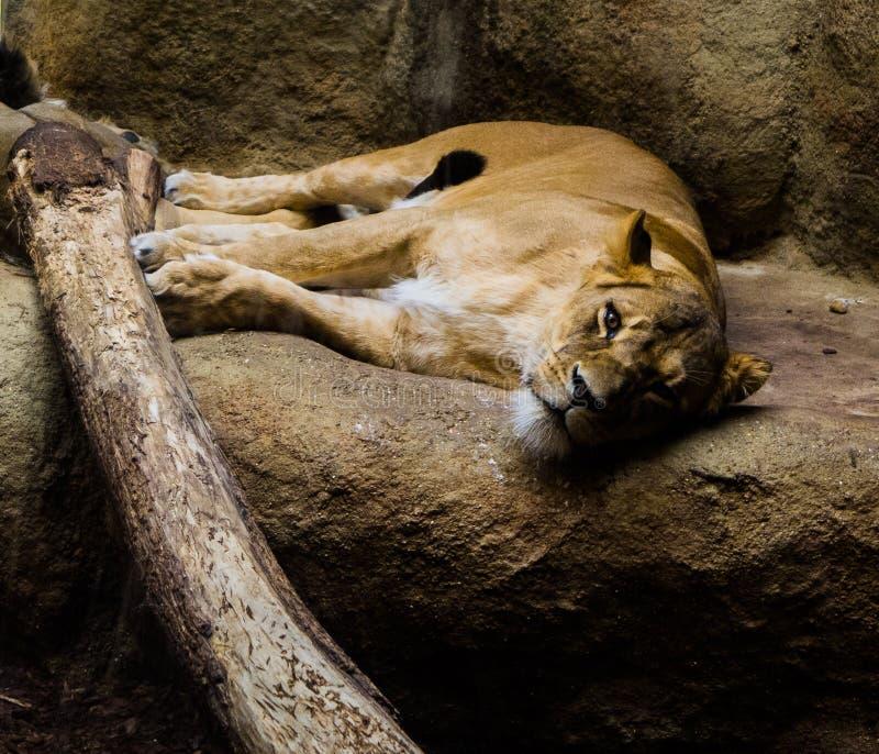 sömnig lion arkivfoton