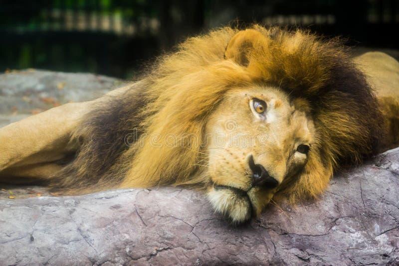 Sömnig lion fotografering för bildbyråer