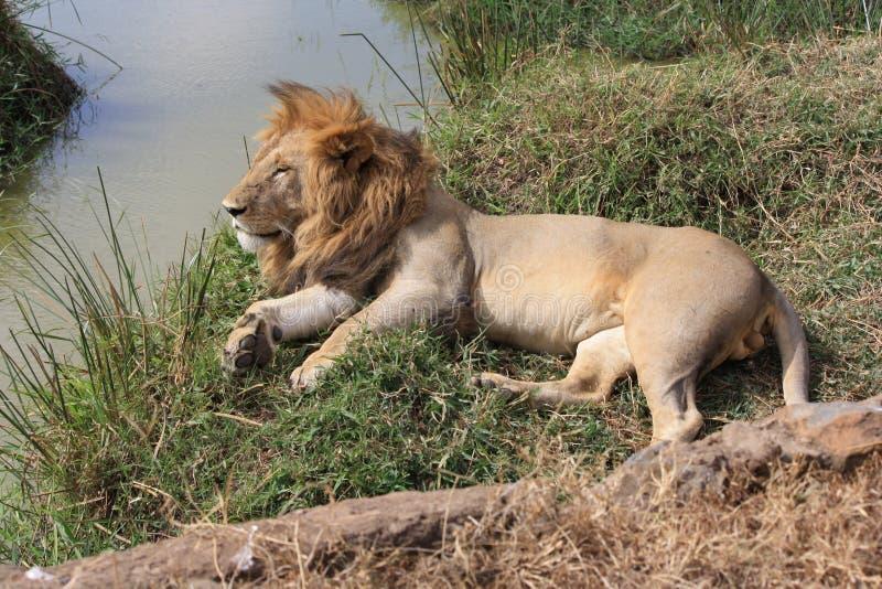 sömnig lion arkivbild