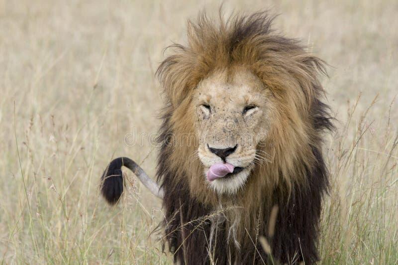sömnig lion royaltyfria bilder