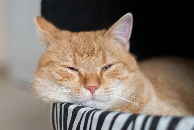 Sömnig ljust rödbrun katt i lya royaltyfri bild