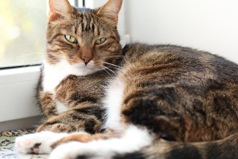 Sömnig makrillstrimmig kattkatt som ligger på fönsterbrädan royaltyfri bild