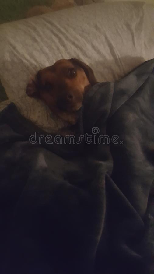 sömnig pup royaltyfri bild