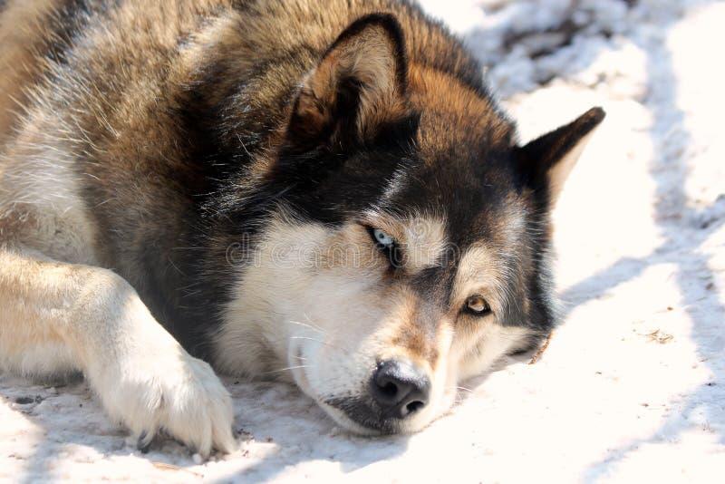sömnig wolf arkivbilder