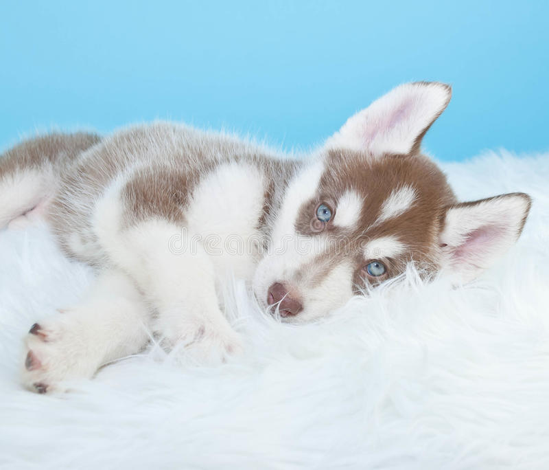 Sömniga Husky Puppy royaltyfri bild