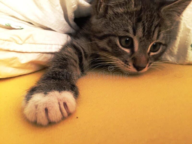 Sömniga Kitten Waking Up From Its ta sig en tupplur arkivbild