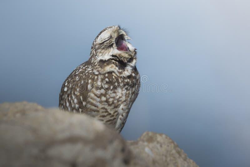 Sömniga Owl Perched på vaggar och att gäspa royaltyfri bild