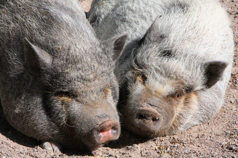 sömniga pigs arkivbilder