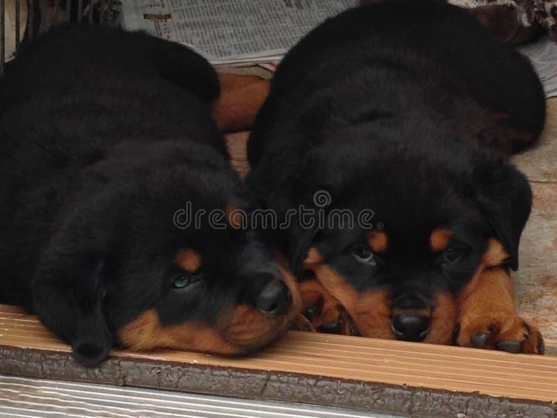 Sömniga Rottweiler valpar fotografering för bildbyråer