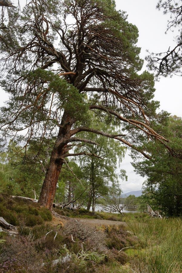 sörja den scots treen arkivbilder