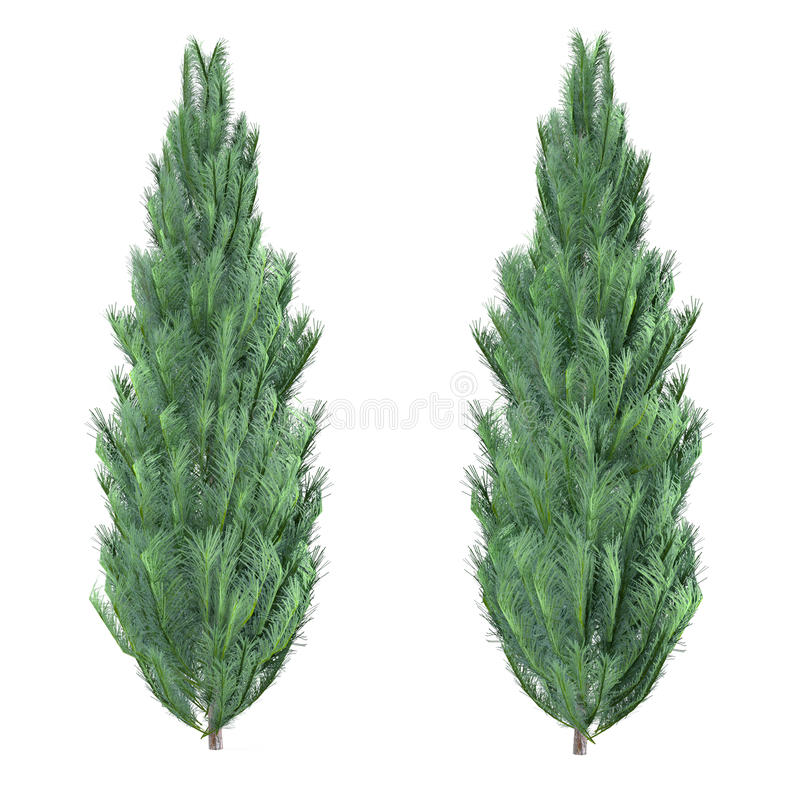 Sörja det isolerade trädet. Pinus stock illustrationer
