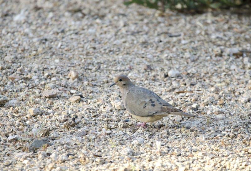 Sörja duvafågeln, Tucson Arizona öken arkivbilder