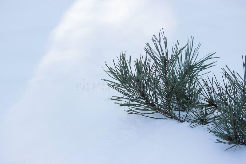 Sörja filialen på snöbakgrund royaltyfri foto