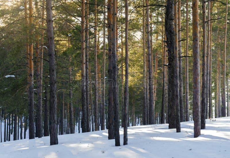 Sörja Forest On en Sunny Day In Winter Trädskuggor i snön arkivfoto