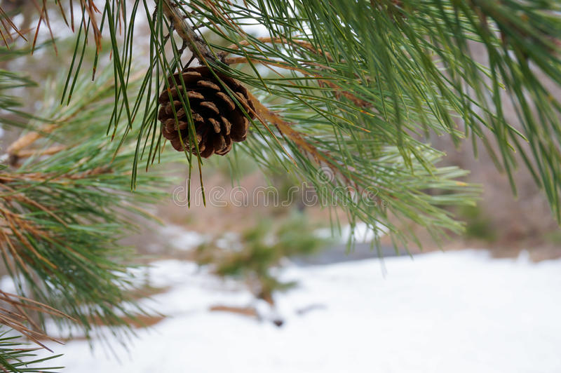Sörja kottar och sidor med suddig snöig bakgrund royaltyfri bild