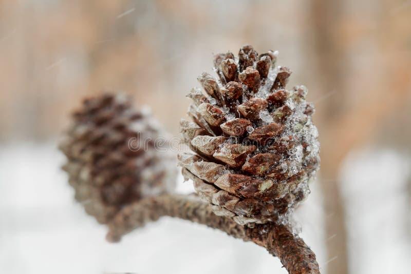 Sörja kotten och visare på trädfilial Granfilial och snö closeup royaltyfri fotografi