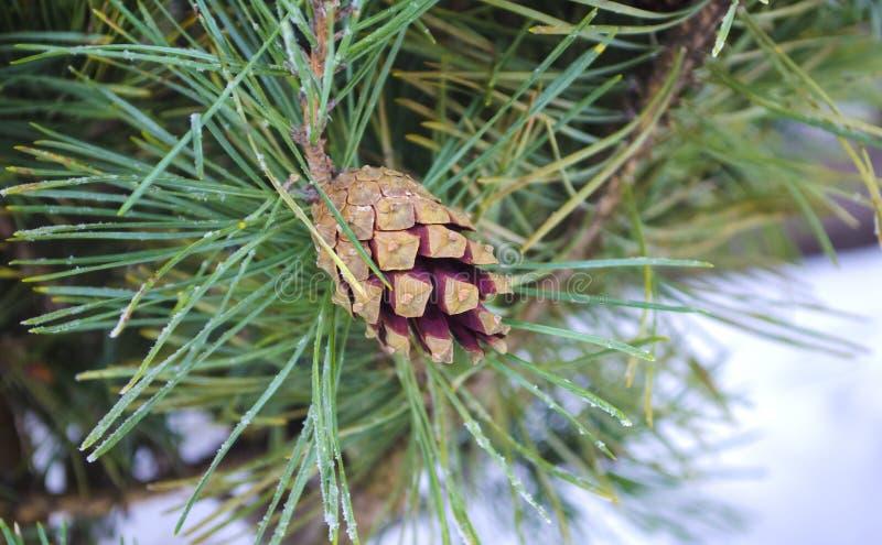 Sörja kotten och visare på trädfilial Granfilial och snö Closeup av julgranbakgrund Brunt sörja kotten av sörjer trädet arkivfoto