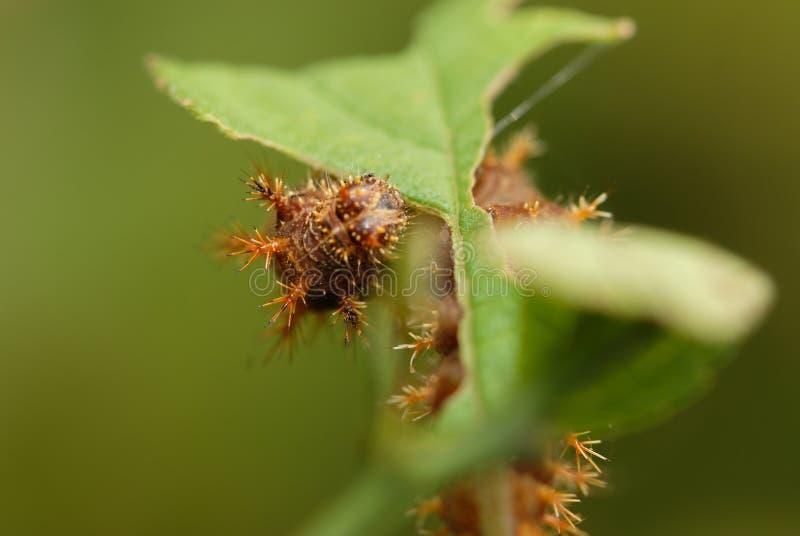 Sörja larven royaltyfri fotografi