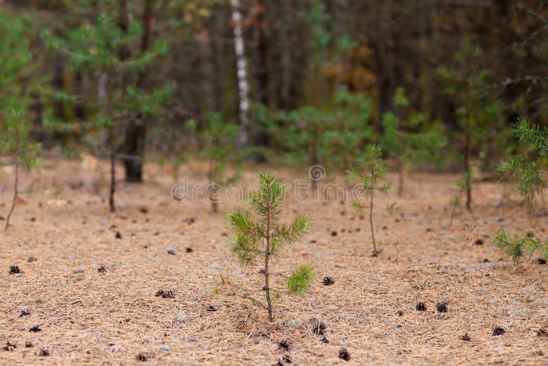 Sörja lite trädet med kottar på jordning royaltyfria foton