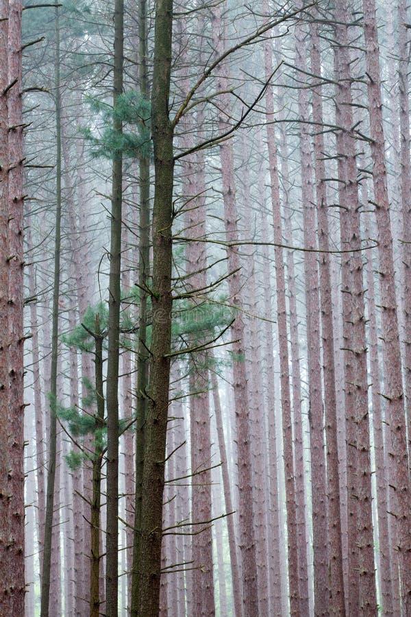 Sörja skogen i dimma royaltyfria foton
