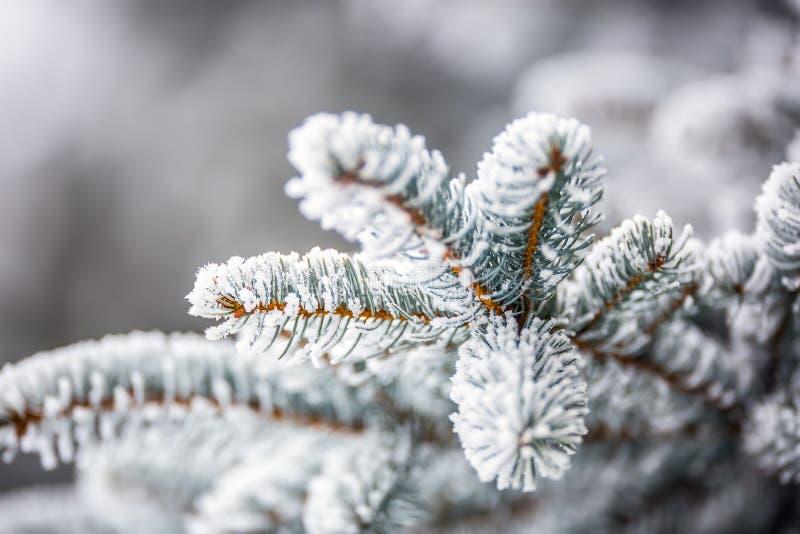 Sörja täckt frost för trädfilialer i snöig atmosfär royaltyfri foto