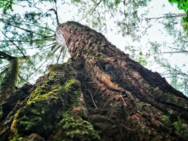 Sörja träd royaltyfria foton