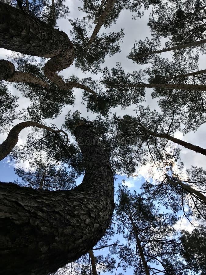Sörja träd för att vrida och skjuta upp tornet himlen - SÖRJER - SKOGEN - NATUR arkivfoto
