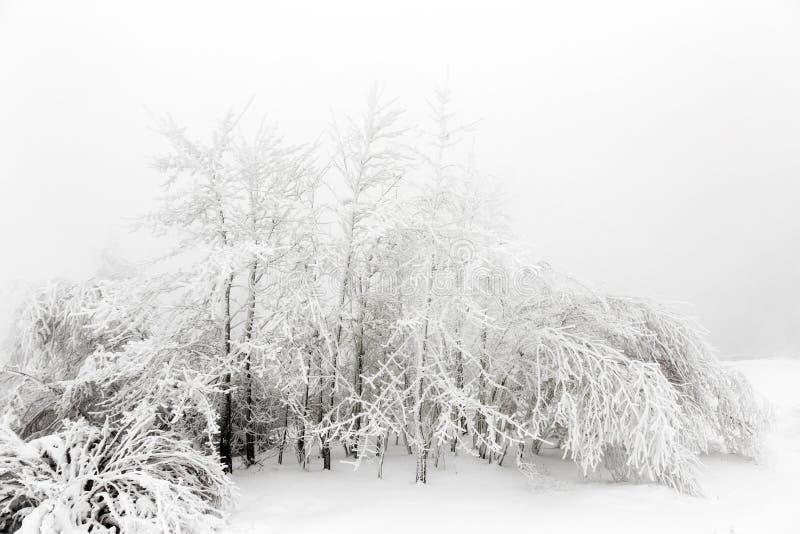 Sörja träd i den insnöade framdelen av en häftig snöstorm royaltyfria foton