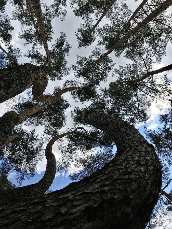 Sörja träd, och moln skjuter upp torn himlen - SÖRJER - SKOGEN - NATUR royaltyfri foto
