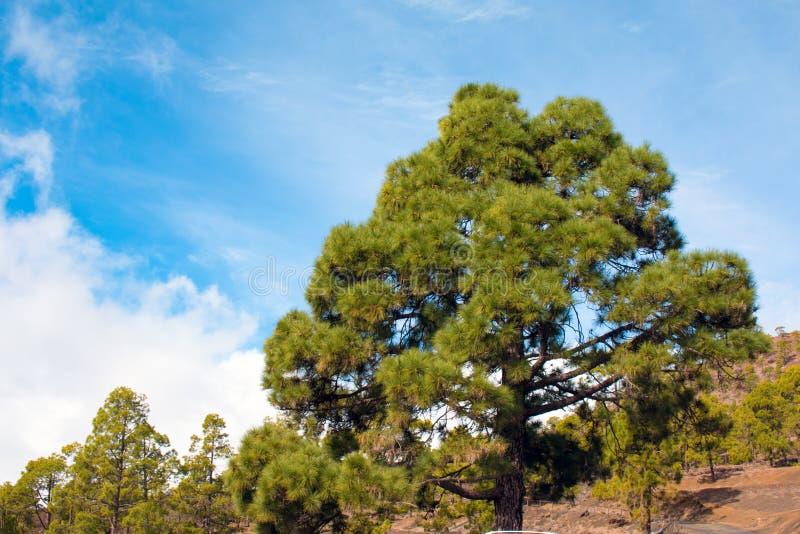 Sörja träd på teiden, tenerife royaltyfri fotografi