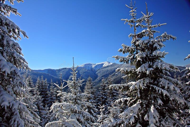 Sörja träd som täckas med insnöat bergen för ligganderussia för 33c januari ural vinter temperatur arkivbild