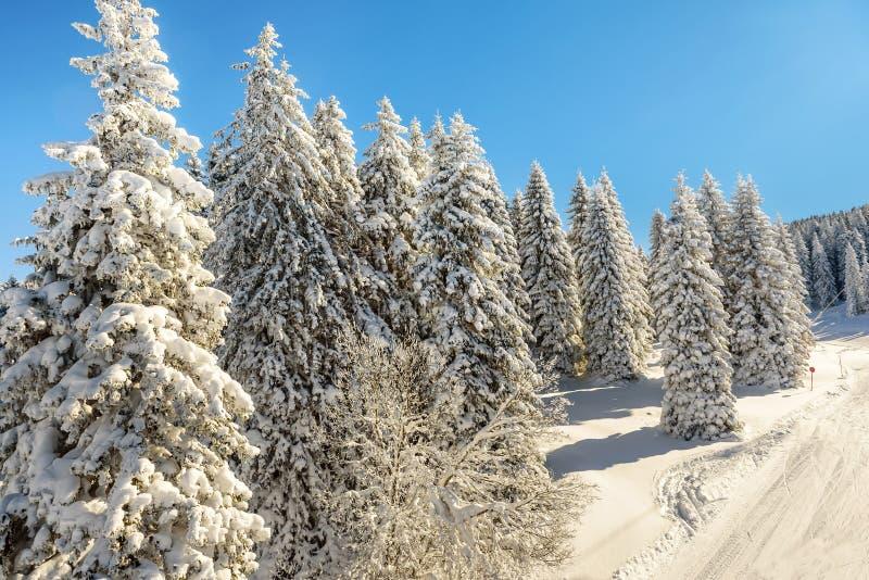 Sörja träd som täckas med snö på det Kopaonik berget i Serbien royaltyfri fotografi