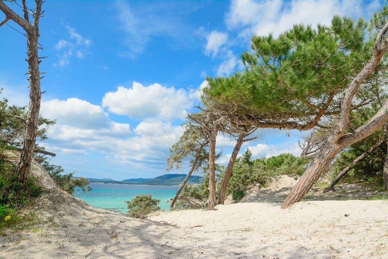 Sörja träd vid kusten i den Maria Pia stranden fotografering för bildbyråer