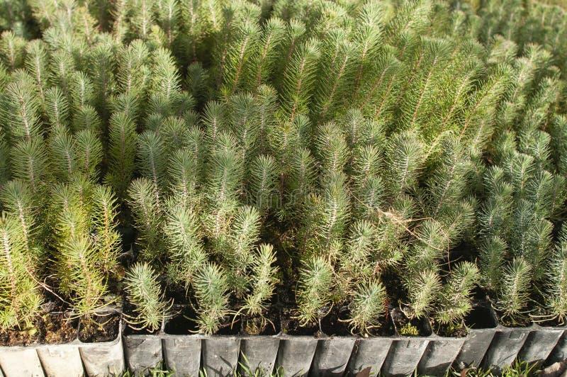 Sörja trädet för återbeskogning - Pinus Pinea royaltyfri foto