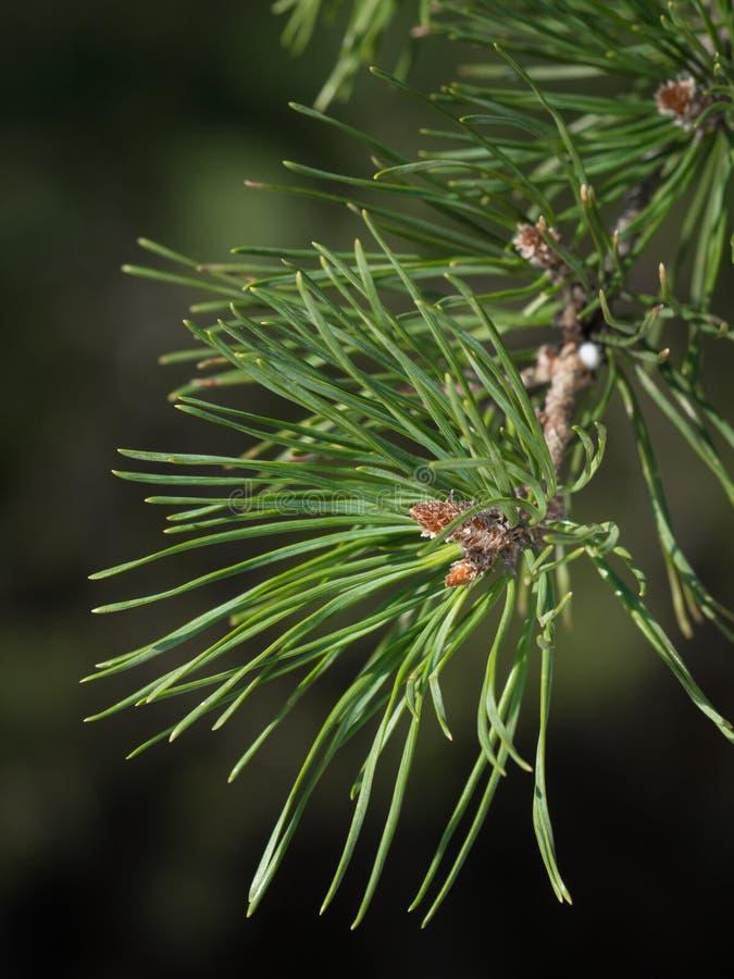 Sörja trädet fattar med knoppar arkivfoton