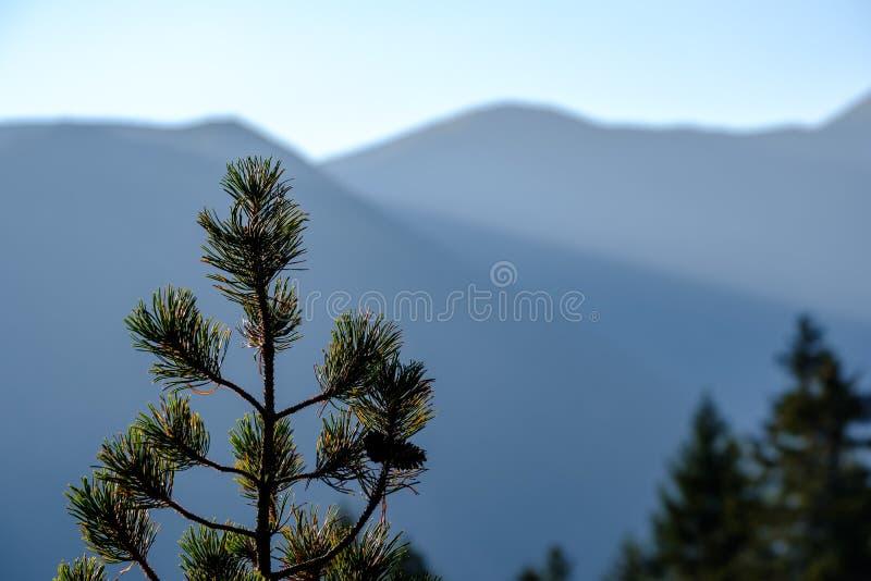 sörja trädet framme av morgonljusresningen i bergen Tatr arkivfoton