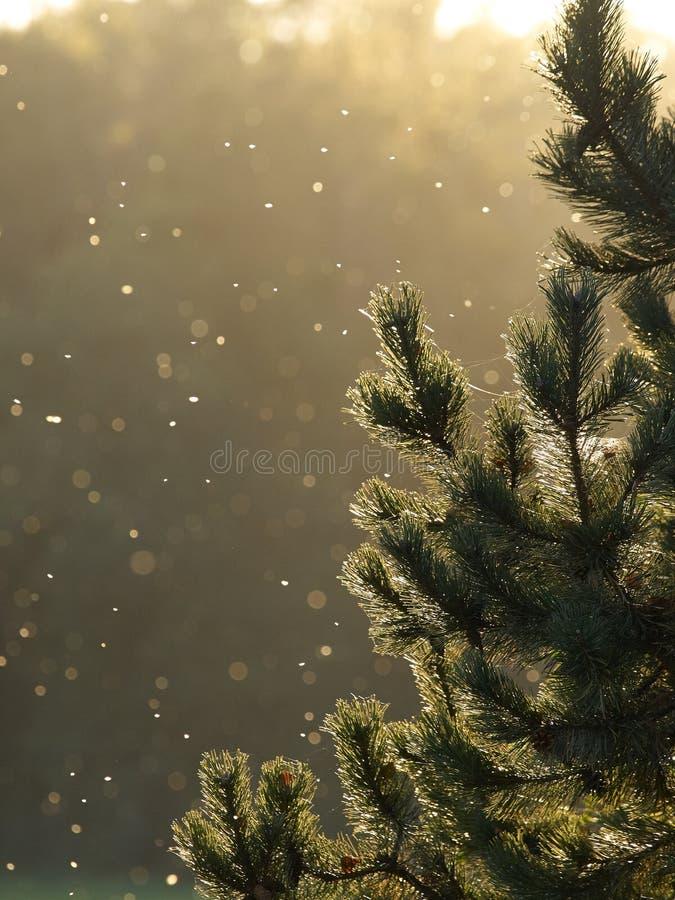 Sörja trädet i aftonljuset arkivfoton